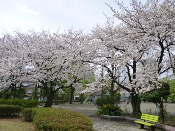 鷹匠公園の桜2