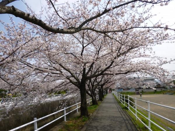 巴川排水路沿い(愛宕霊園)の桜1