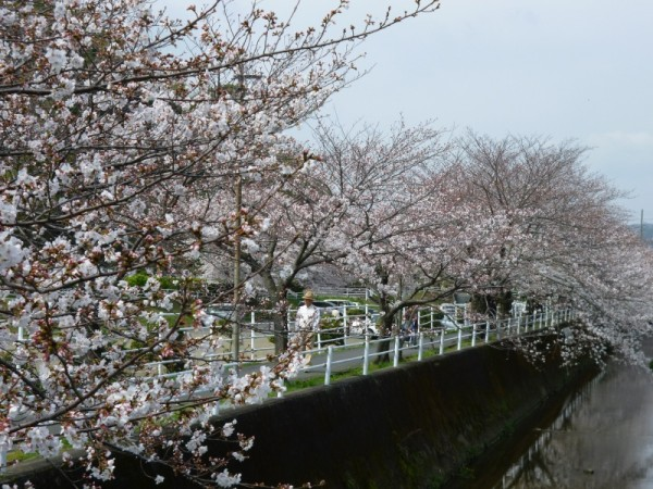巴川排水路沿い(愛宕霊園)の桜2