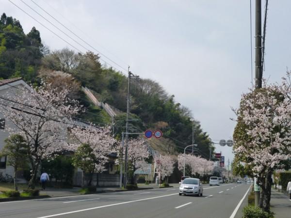 県道67号線(新北街道)の桜1