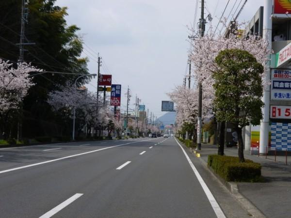 県道67号線(新北街道)の桜2
