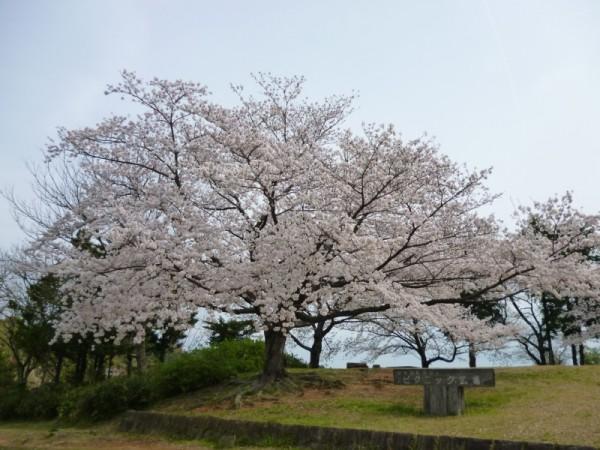 ピクニック広場の桜