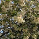 護国神社の鬱金の桜