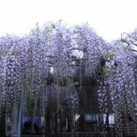 熊野の長藤(磐田市)