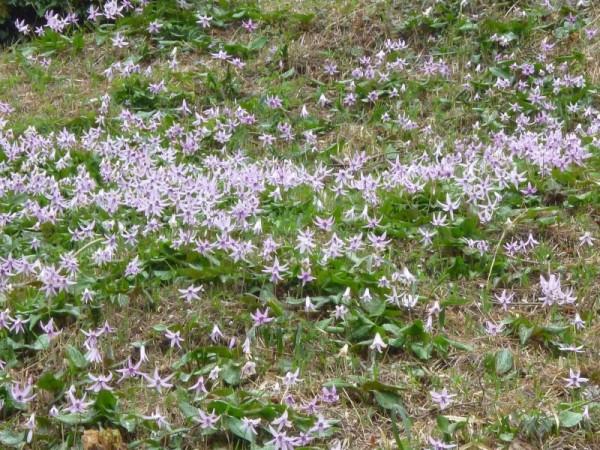 群落で咲くカタクリ