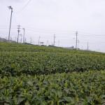 牧之原台地のお茶畑