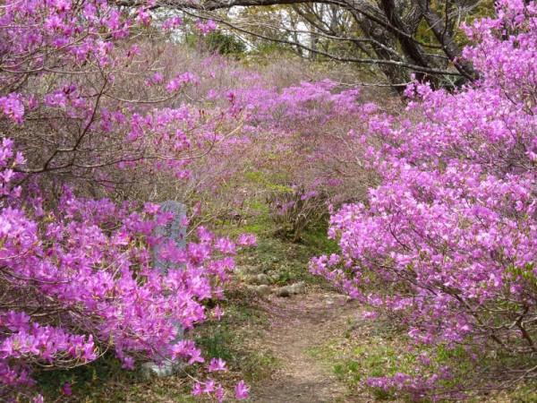 ミヤマツツジは5分~7分咲き2