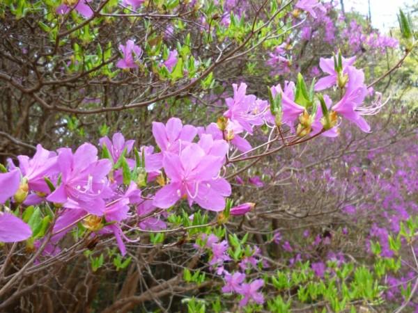 ミツバツツジの花弁1