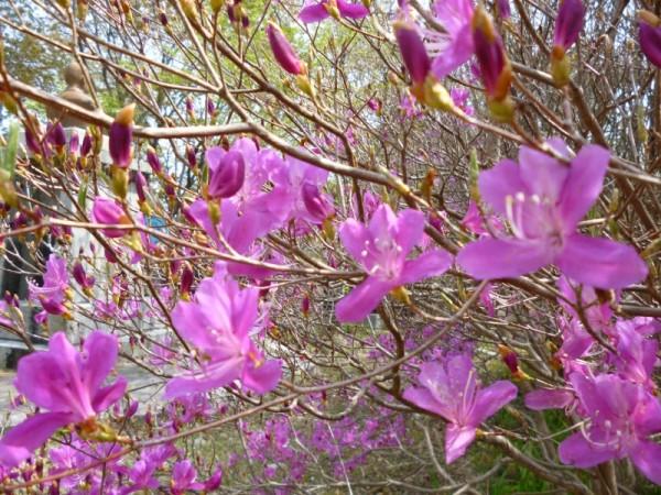 ミツバツツジの花弁2