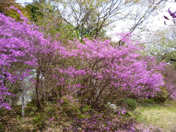 ミヤマツツジは5分~7分咲き3