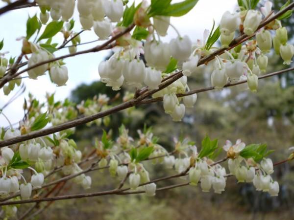 ドウダンツツジ花