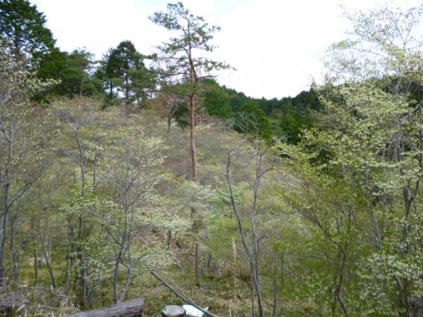 赤松林の中のドウダンツツジ