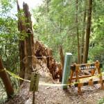 天然記念物のよりとも杉