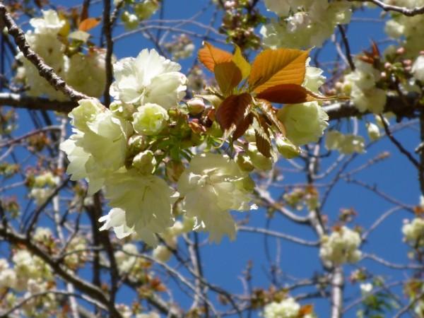静岡県立美術館の八重桜(静岡市)