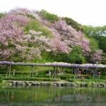 蓮花寺池公園の藤とサトザクラ