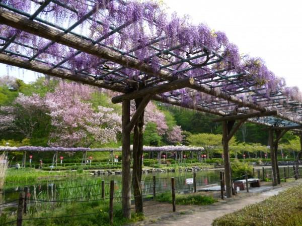 蓮花寺池公園の藤