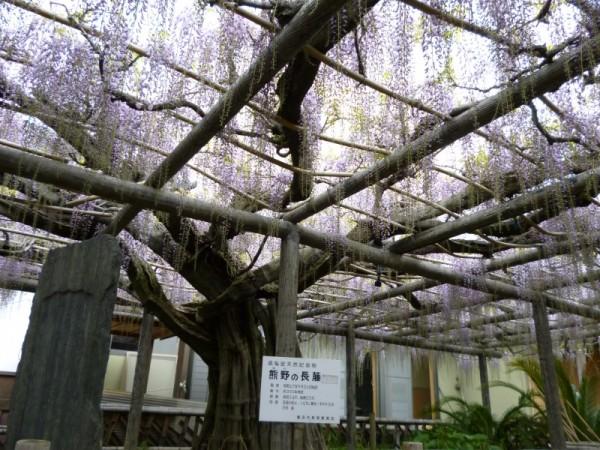 熊野の長藤 県指定天然記念物