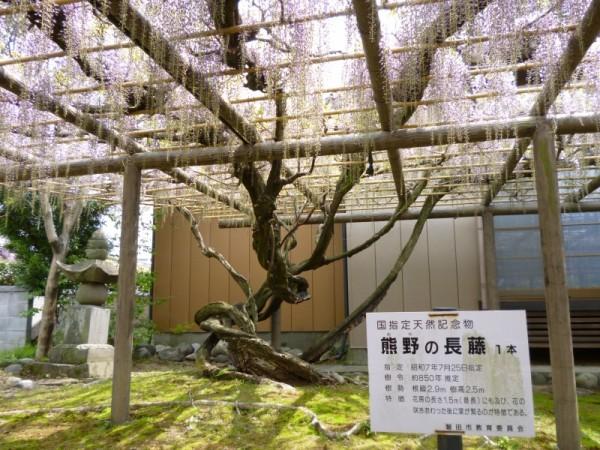 熊野の長藤 国指定天然記念物