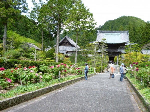静居寺参道のの牡丹