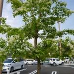 新東名静岡SA上り駐車場のヒトツバタゴ