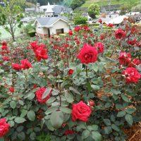 島田市ばらの丘公園のバラ(島田市)