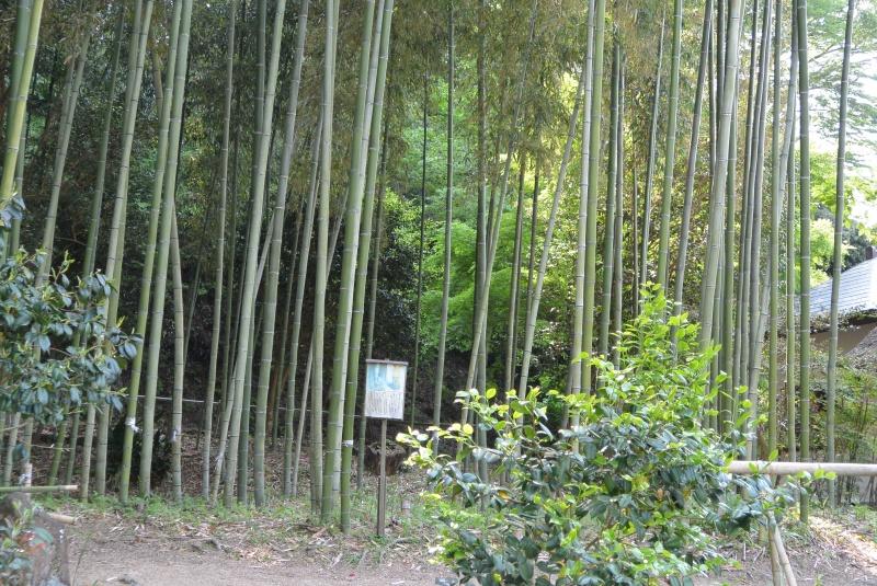 江川邸の新緑と韮山竹(伊豆の国市)