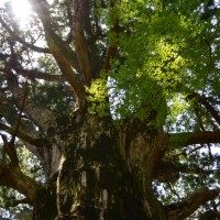 春埜山大光寺の春埜杉と新宮池のジュンサイ(浜松市)