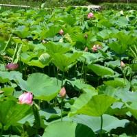 蓮華寺池公園 蓮の花と睡蓮(藤枝市)
