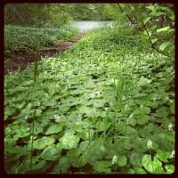 大沼にて。群生している花。