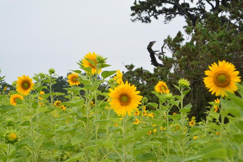 沼津御用邸記念公園のヒマワリ・ハマユウ(沼津市)