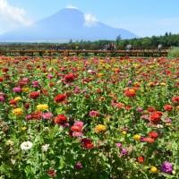 花の都公園の百日草・黄花コスモス(山梨県山中湖村)