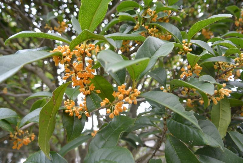 静岡県立美術館・県立大学周辺のキンモクセイ・茶の花(静岡市)