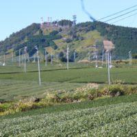 掛川市東山周辺 茶草場のススキ・茶の花(掛川市)