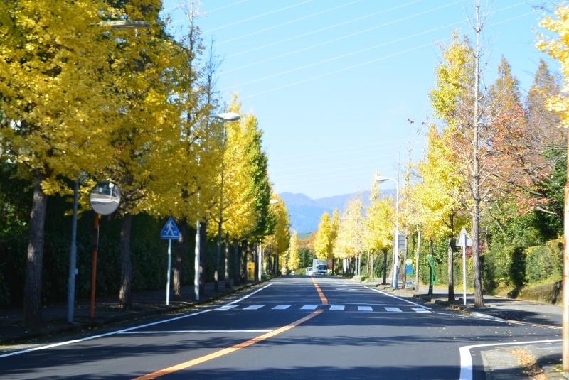 駿河平大通りイチョウの黄葉とクレマチスの丘の紅葉(長泉町)