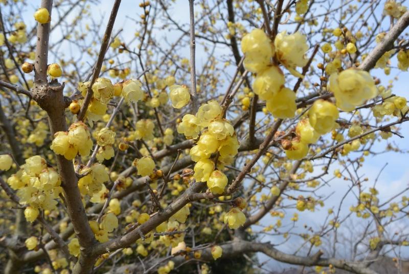 蝋梅の小径 蝋梅と越前水仙(焼津市)