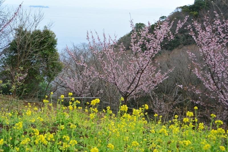 アカオハーブ&ローズガーデン あたみ桜と菜の花(熱海市)