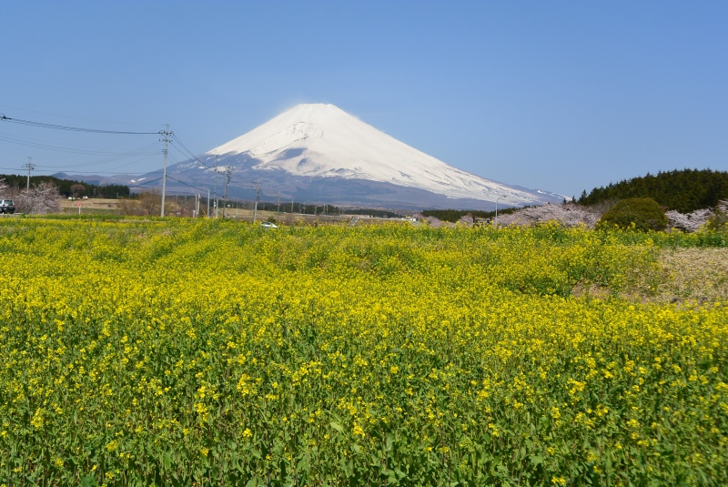 富士山すそのパノラマロード 菜の花&桜まつり(裾野市)