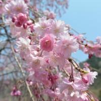 梅ヶ島コンヤの里 さくら公園の桜(静岡市)
