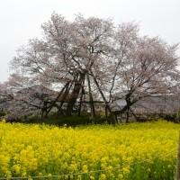 狩宿の下馬桜と菜の花(富士宮市)