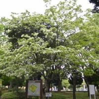 駿府城公園のヒトツバタゴ(なんじゃもんじゃ)静岡市