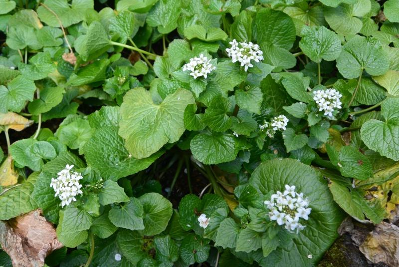 有東木 山葵の里「うつろぎ」近辺の山葵の花(静岡市)