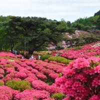 小室山公園のツツジ(伊東市)