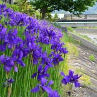 丸子川のアヤメ(静岡市)