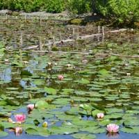 はなさんぽ通信「水生植物栽培農家の初夏」