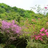 十里木高原のアシタカツツジ(裾野市)
