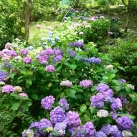 梅ヶ島コンヤの里 赤水の滝の紫陽花(静岡市)