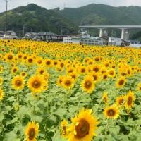 美和学区のひまわり畑(静岡市)