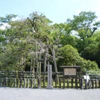 三嶋大社の金木犀(三島市)
