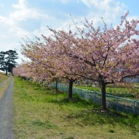 はなさんぽ通信「美和桜」春の嵐で見頃が過ぎ。