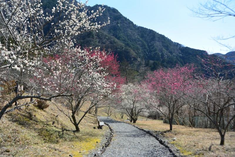 梅ヶ島梅園の梅便り(静岡市)